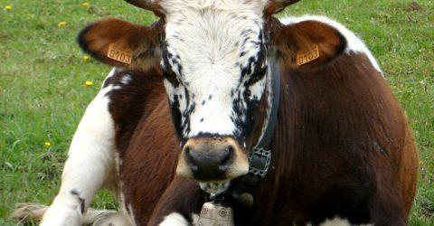 heidi la vache ret (Medium)